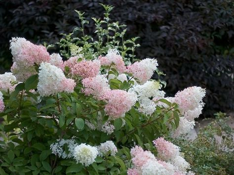 'Little Lamb' has the smallest and most delicate flowers of any hydrangea. Hardy from zones 3 to 9, this hydrangea offers white flowers that turn pink in the fall. Growing 4 to 6 feet in height, this shrub serves as a perfect border plant.