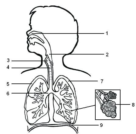 Aparato Respiratorio Para Colorear Con Sus Partes Sistema Respiratorio Dibujo Sistema Respiratorio Para Colorear Aparato Respiratorio