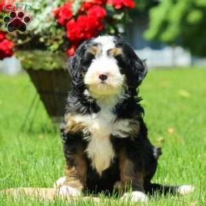 Mini Bernedoodle Puppies For Sale Bernedoodle Mini Bernedoodle Bernedoodle Puppy