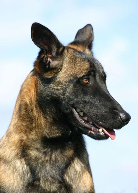 United States Navy SEALs used a Belgian Malinois war dog named Cairo in Operation Neptune Spear, in which Osama bin Laden was killed.