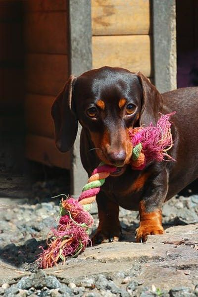 How To Train A Dachshund Puppy To Not Bite Dog Training Dog