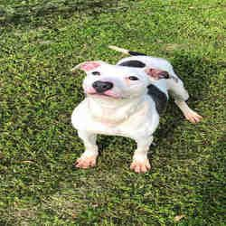 Available Pets At Galveston County Animal Resource Center In Texas City Texas American Pitbull Terrier Pet Adoption Animals