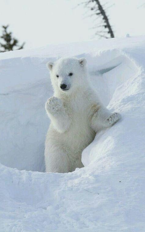 Polar Bears Funny Could I Borrow Cute Sweet Animal Wild Poster White Bear Photo