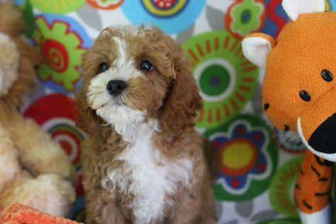 Cavachon Puppy Cavachon Puppies Cavachon Dog Cavachon