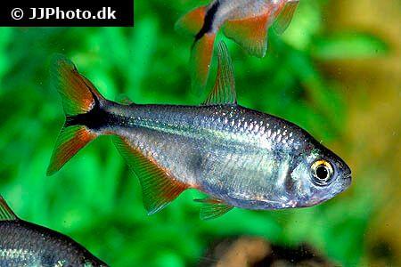 Buenos Aires Tetra Care Size Life Span Tank Mates Breeding Tetra Fish Tetra Breeds