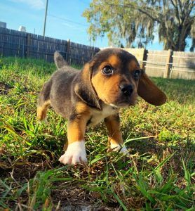 Puppies For Sale Orlando Fl Breeder S Pick Orlando Inc Breeders Puppies For Sale Corgi