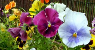 Growing Pansy Flower How To Grow Pansy Growing Pansies In Containers Pansies Flowers Seed Starting Mix Flowers Perennials