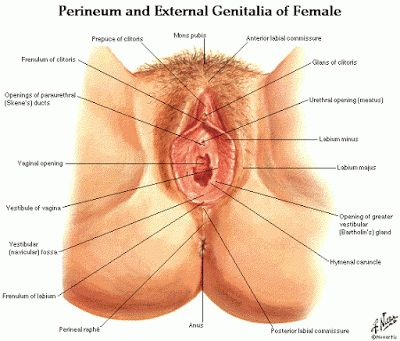 Female Urinary Anatomy | Dentistry and Medicine | Biology 100 ...