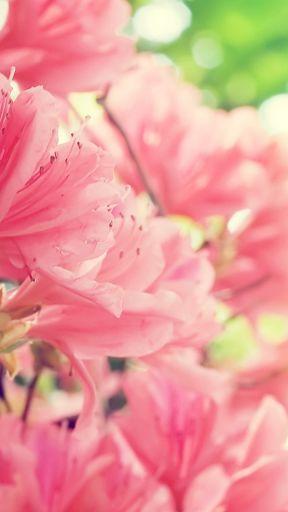 Pink Flower Background For Whatsapp Whatsapp Background Pink Flowers Background Wallpaper