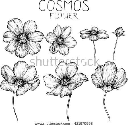 Cosmos Flowers Flowers Drawings Vector Stock Vector Drawing Flowers