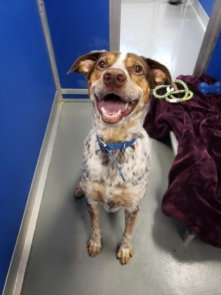 Adopt Benny On In 2020 Dog Adoption I Love Dogs Cattle Dogs Mix