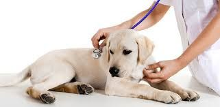 Veterinarian In Raipur Kennel Cough Symptoms Healthy Pets Dog
