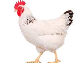 تفسير رؤية دجاجة في المنام أو الحلم أحلامك نت Pet Chickens Chicken Wallpaper Cute Chickens
