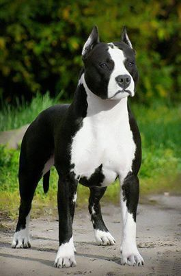 """American Staffordshire Terrier - The Amstaff, a cross between the old English Bulldog and one or more terriers, was truly """"made in America."""" Originally known as the Staffordshire Terrier, American was added to the names to avoid confusion with their British counterpart, the Staffordshire Bull Terrier."""