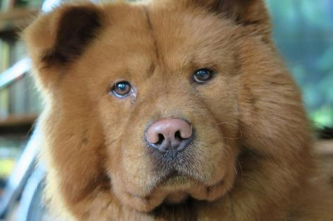 Adopt Red Rover On Beautiful Dogs Chow Chow Dogs Dogs