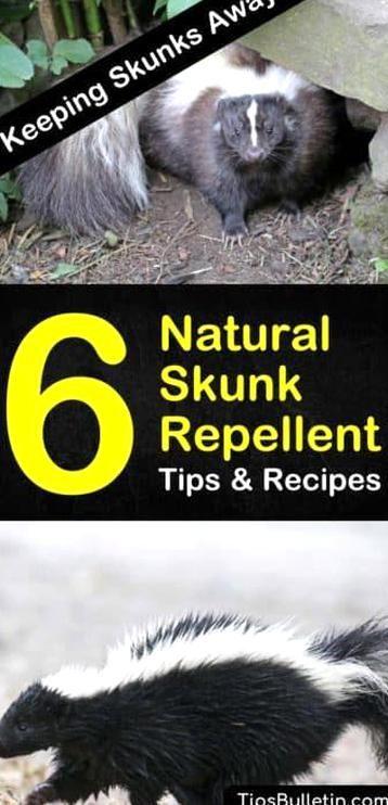 Keeping Skunks Away 6 Natural Skunk Repellent Tips And Recipes Skunk Repellent Repellent Skunk