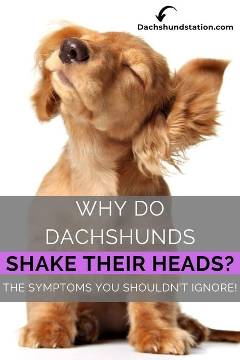 Why Do Dachshunds Shake Their Head Symptoms You Shouldn T Ignore