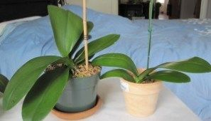 How To Identify A New Orchid Root Vs Flower Spike Orchid Roots Buy Orchids Flower Spike