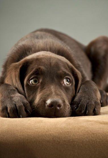 Wie Du Deinem Hund Zu Silvester Die Angst Vor Lautem Feuerwerk Nimmst Niedliche Hunde Hunde Tapete Labrador