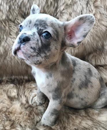 French Bulldog Puppies For Sale Worcester Ma French Bulldog Puppies Puppy Dog Pictures Bulldog Puppies