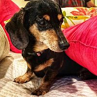 Pin By Alex Alaeff On Adoptable Dachshunds Pet Adoption