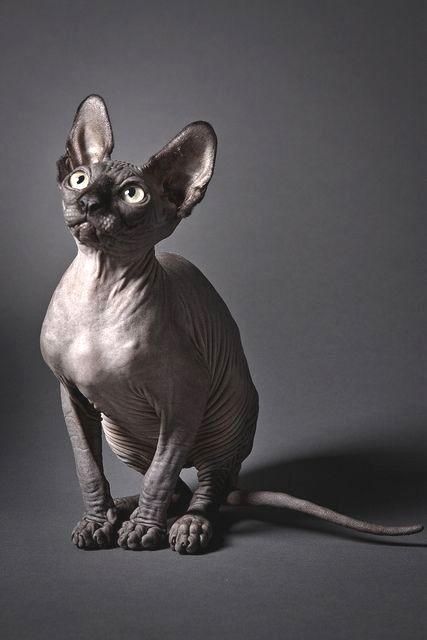 Munchkin Sphynx Cat : munchkin, sphynx, Schneider, Sphynx, Kittens,