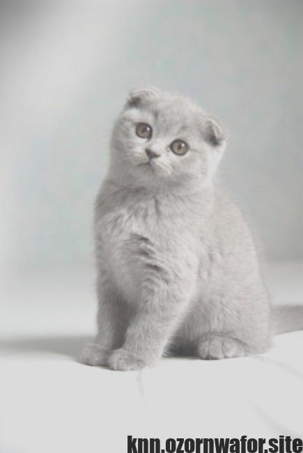 Good Totally Free Cat Breeds Munchkin Thoughts Kitten Breeds Scottish Fold Quiet Cat