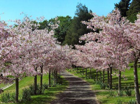 Flowering Cherry Tree Nz Google