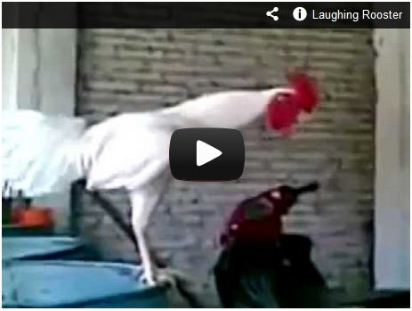Laughing Rooster Watch Here Http Gdurl Tk Dg Rooster