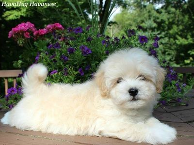 Puppies For Sale Havahug Havanese Puppies Baby Welpen Niedliche Welpen Grosse Hunderassen