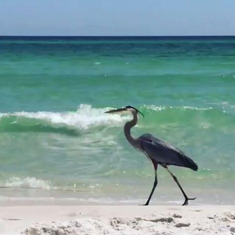 Marching into vacation like 👇🏻🕶 🎥@jennyltate #ExperiencePcola #pensacolabeach #pensacola #perdidokey #greatblueheron #birdwatching #bestbeach #bucketlist #floridavacation