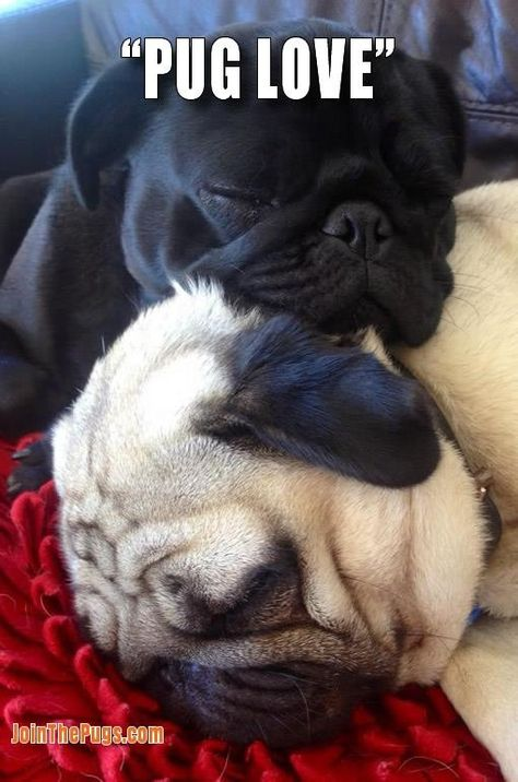 Sleeping pugs #pugfanatic