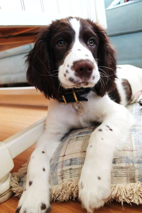 Springer Spaniel - my freckled springer, love him to death Cute Dogs And Puppies, I Love Dogs, Doggies, Corgi Puppies, Maltese Dogs, Small Puppies, Springer Spaniel Welpen, English Springer Spaniel Puppies, English Setter Puppies