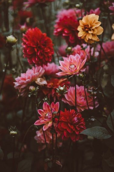 See The Best 32 Free High Resolution Photos Of Free Photos Of Dahlias Selected By Annie Spratt These Hd Images Are Free To Plants Flowers Flowers Photography