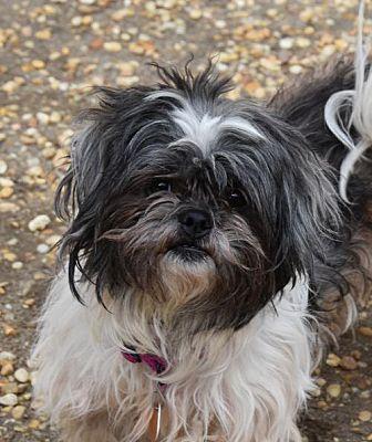 Philadelphia Pa Shih Tzu Meet Scruffy A Dog For Adoption Kitten Adoption Dog Adoption Pets