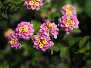 Lantana Camara Sau Floarea Cameleon Vrea Loc Aerisit Hanging Flower Baskets Most Beautiful Flowers Beautiful Flowers