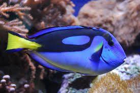 Hippo Tang Google Search Blue Tang Fish Animals Beautiful Marine Animals