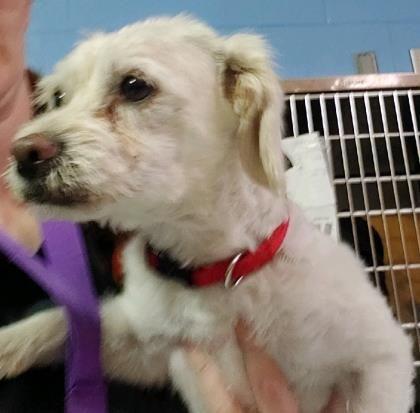 El Paso Tx Meet 39815126 I Am A Poodle Miniature Mix Male For