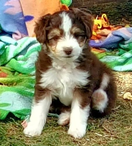 Aussiedoodle Puppies Animals Dogs