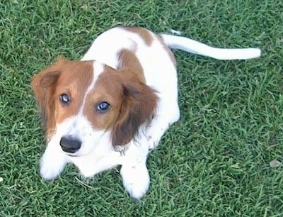 Charlie The Brown Black And White Piebald Dachshund Puppy Is