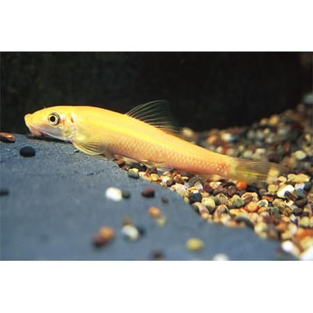 New Product Listed On Our Store Golden Algae Eate Check It Out Here Http Www Freshnmarine Com Products Golden Algae Eater G Fish Pet Catching Fish Algae