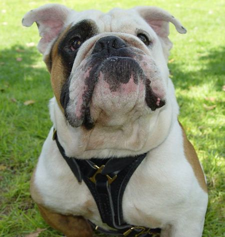 Leather Tracking Walking Dog Harness For Bulldogs Bulldog Breeds