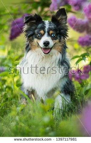 Stock Photo Miniatur Australian Shepherd Dog Sitting Under A Lilac Bush Dogs Dog Sitting Australian Shepherd