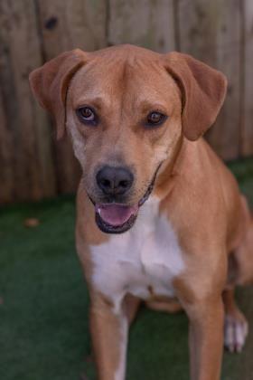 Adopt Luna On Mastiff Puppies Mastiff Dogs Pet Adoption