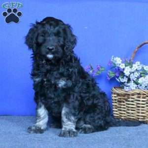New Arrivals Andrew Bocelli Greenfield Puppies Puppies New Puppy