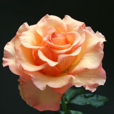 """Sunstruck, Enormous round petals of apricot gold with a patterned yellow reverse adorn this new hybrid tea rose from Weeks Roses hybridizer Tom Carruth. A moderately fruity fragrance comes from each regal bloom.  Bloom 5"""", petals 30"""