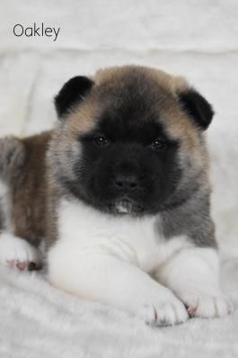 Akita Puppies For Sale Lancaster Puppies Craigslist For Sale