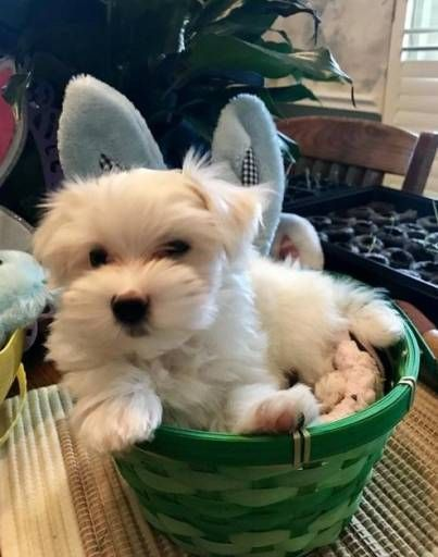 Maltese Dogs For Sale In United States Arizona Phoenix You Can