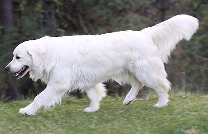 English Cream Golden Retriever Welpen Weiblich Welpe Welpen Golden Retriever Cream English Gol Dog Training Dogs And Puppies Dogs Golden Retriever