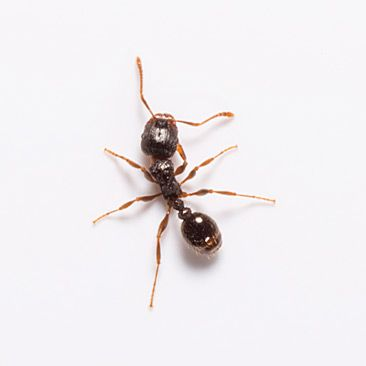 Spring Bring Warmth Ants With Images Ant Control Pests Pest Control